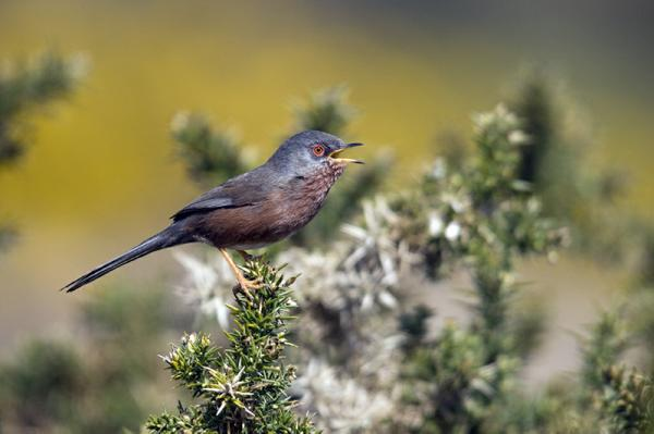 Dartford Warbler by Geoff Jones
